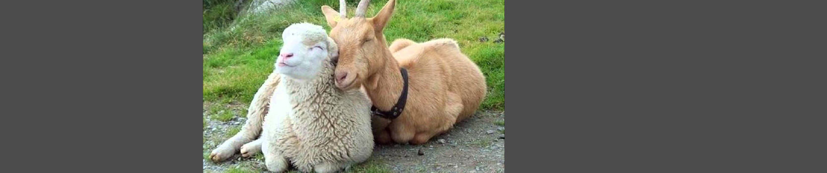 home-slider-sheep-goats